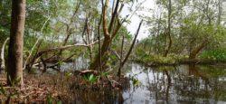 Mangrove Amana