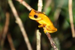 Dendropsophus - Leucophyllatus